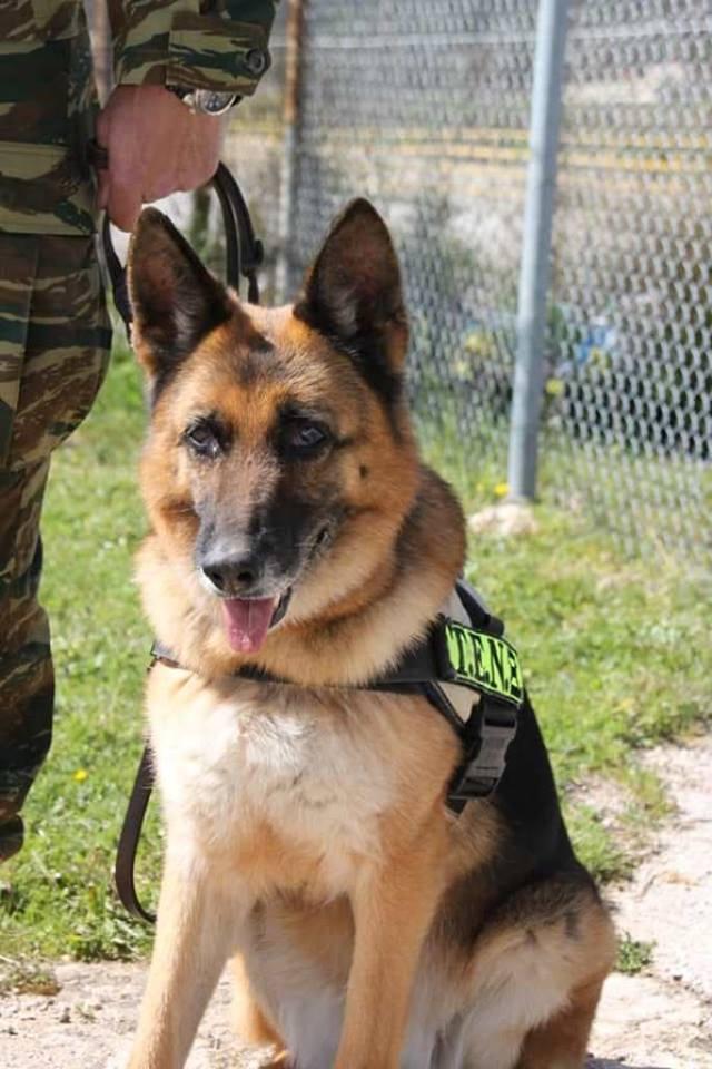 Σκύλος ελληνικός στρατός σκύλος ελληνικός στρατός